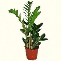 Замиокулькас Свет: яркий. Растение способно переносить прямые солнечные лучи. Температура: с весны до осени для замиокулькаса подходит температура в диапазоне 20-25°C; зимой желательно содержать растение при температуре около16°C. Полив: умеренный с весны до осени, осторожный в зимнее время. Влажность воздуха: не играет существенной роли. Подкормка: с апреля по сентябрь цветочным удобрением. Можно подкармливать удобрениями, рекомендуемыми для суккулентов и кактусов. Период покоя: зимой. Растение держат в светлом прохладном месте, поливая осторожно, по мере необходимости. Пересадка: весной или летом примерно через 2-4 года. Размножение: делением при пересадке и укоренением листовых пластинок. Размер:высота- 100 см.