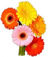 Гербера Как символ чистоты и красоты, гербера – это замечательный подарок для ваших друзей, любимых или коллег. Гербера означает на языке цветов улыбку, флирт, просто хорошее настроение и в тоже время неведанную тайну. Если Вы хотите подарить хорошее настроение или сделать комплимент, подарите своим близким букет из гербер либо в сочетании с другими цветами. Гербера- это хороший способ выразить свою симпатию. Цветовая гамма в ассортименте.