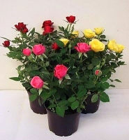 Роза  Местоположение: очень светлое, с некоторым количеством прямых солнечных лучей. Лучше всего подходит солнечный подоконник. Летом можно выносить на открытый воздух. Полив, подкормка: полив обильный, по мере подсыхания почвы. Подкормки вносят регулярно, не реже одного раза в месяц. Во время цветения подкармливать нужно каждую неделю. Лучше всего использовать специальные подкормки для роз. Уход: часто опрыскивать (лучше несколько раз в день) и повышать влажность воздуха. Пересадка ежегодно весной в землю для роз. Горшок для розы выбирайте достаточно просторный, так как в отличие от других цветущих растений, роза не любит тесноты. Размножение: весной листовыми черенками с использованием стимуляторов корнеобразования, семенами. Вредители, болезни: тля, паутинный клещ, мучнистая роса. Маленький совет: после цветения розу следует обрезать на 2/3, для образования более пышного кустика. Цветет роза только на молодых побегах – чем пышнее куст, тем обильнее цветение. Размер: диаметр горшка-14 см, высота -35 см. Цветовая гамма растения в ассортименте.