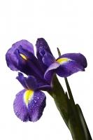 Ирис Белый ирис - символ света, чистоты, радости. Ирис – это мудрость, вера, доблесть, надежда, бесстрашие. Ирис- цветок, олицетворяющий одно из красивейших явлений природы. Эти цветы прекрасно сочетаются с орхидеями, красными и белыми розами, зеленью. Ирис считается мужским цветком, идеально подходит для составления мужских и детских букетов, а также как дополнительный цветок в женские букеты и к 8 Марта. Длина: 50 см.