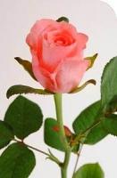Роза Karina Цвет: Розовый. Длина: 60-80 см.