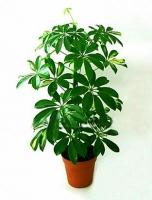 Шефлера Свет: яркий рассеянный. От прямых солнечных лучей следует притенять. Температура: летом около 20°C, в зимнее время минимальная температура 12°C, оптимальная температура для растения в этот период 14-16°C. Полив: в весенне-летний период умеренный, регулярный, мягкой отстоянной водой. Не допускают пересушки земляного кома. Зимой полив ограничивают. Влажность воздуха: повышенная. Растение нуждается в регулярном опрыскивании отстоянной мягкой водой комнатной температуры. Подкормка: в период активной вегетации (с весны до осени) 2 раза в месяц универсальным удобрением для комнатных растений. Период покоя: зимой. Растение содержат в светлом помещении при температуре 14-16°C, поливают ограниченно. Пересадка: один раз в два года, весной, в горшок, существенно больший, чем предыдущий. Размножение: семенами, черенками и воздушными отводками. Размер: диаметр горшка- 16 см, высота- 50 см.