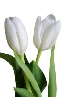 Тюльпан По древней легенде в золотом бутоне тюльпана было заключено счастье, до которого никто не мог добраться, поскольку не было на свете такой силы, которая могла бы открыть бутон. Но однажды мимо цветка проходила женщина с ребенком на руках. Мальчик вырвался из рук женщины и с веселым смехом побежал к тюльпану, тогда бутон раскрылся. Задорный смех ребенка сумел сделать то, что остальным было не под силу. С тех пор считается, что тюльпаны дарят только тем, кто счастлив. Но тюльпаны и сами являются источником радости и хорошего настроения, поэтому подарив букет тюльпанов Вы осчастливите кого угодно. Букет тюльпанов без слов передаст избраннице Ваши трепетные чувства. Нежная цветовая гамма и сказочная красота цветов покорят сердце даже самой неприступной красавицы. Цветовая гамма в ассортименте.