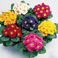 Примула Минимальный заказ- 5 растений. Размер: 25 см Цветение: зимой-весной. Освещение: яркий рассеянный. От прямых солнечных лучей следует притенять. Температура: умеренная, во время цветения не выше 12-16°С (в таких условиях цветки держатся дольше). Полив: умеренный, обильный во время цветения (необходимо поддерживать равномерную влажность почвы, но без застоя воды), мягкой отстоянной водой по мере подсыхания верхнего слоя субстрата. Подкормка: в июне и в конце августа, первый раз — органическим удобрением, второй — аммиачной селитрой (1-1,5 г на 1 л воды). Размножение: семенами, делением старых кустов, укоренением пазушных побегов. Виды:Примула обратноконическая- Primula obconica - многолетнее травянистое растение образующее довольно крупный куст - до около 60 см высотой. Листья опушенные, на длинных черешках, округлой формы, сердцевидные у основания, волнистые по краю, до 10 см длиной. Цветки до 4 см в диаметре, душистые, собраны в зонтичные соцветия, могут быть окраски - белой, розовой, красной, вишневой, голубой, лиловой.Примула кьюская - Primula kewensis - однолетнее травянистое растение, розеткой листьев до 35 см высотой. Листья на длинных черешках, округло-сердцевидной формы, зубчатые по краю, с беловатым налетом по верхней поверхности листа, около 15-20 см длиной. Цветки мелкие, до 2 см в диаметре венчика с длинной трубкой, душистые, собраны в зонтичные соцветия. Единственный вид, цветущий желтыми цветками.Примула мягкая - Primula malocoides - однолетнее травянистое растение, розеткой листьев до 45 см высотой. Листья на длинных черешках, округло-сердцевидной формы, зубчатые по краю, около 15-20 см длиной. Цветки мелкие, до 1,5 см в диаметре, душистые, собраны в мутовчатые соцветия, несколькими ярусами, могут быть окраски - белой, розовой, пурпурной, красной с желтым пятном в зеве.Примула китайская - Primula sinensis - многолетнее травянистое растение с розеткой листьев до 30-35 см высотой. Листья на длинных черешках, округло-сердцевидной формы, зубчатые по