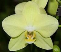 Орхидея Amadeus Amadeus Цветение: может цвести в любое время. Чаще всего цветет в период с февраля до конца мая.Свет: яркий рассеянный, без прямых солнечных лучей.Температура: Phalaenopsis schilleriana предпочитает умеренную температуру.Влажность воздуха: оптимальная влажность 50-70%. Необходимо учитывать, что молодым Фаленопсисам необходима более высокая влажность, нежели взрослому растению.Полив: Phalaenopsis schilleriana зависит от температуры в помещении и от способа посадки. Чем выше в помещении температура, тем быстрее просыхает субстрат, соответственно чаще требуется полив.Подкормка: Phalaenopsis schilleriana, необходимо удобрять в течение всего года, раз в две-три недели. Удобрение необходимо использовать специализированное для орхидей.Период покоя: в комнатных условиях чаще всего содержат без периода покоя.Пересадка: обычно Phalaenopsis schilleriana советуют пересаживать раз в 2-3 года, так как со временем кора разлагается, и теряется воздухопроницаемость субстрата, вследствие чего корни получают меньше воздуха, от чего они могут погибнуть.Также необходимость пересадки возникает, если корни полностью заполнили весь горшок.Размножение: в комнатной культуре, при благоприятных условиях вегетативное, то есть дочерними розетками на цветоносах, или в пазухах листьев.Размер: диаметр горшка- 13 см, высота- 70 см.Цветовая гамма растения в ассортименте.Данное растение имеет 2 цветоноса. Есть также 1, 3 и 4 цветоноса.