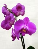 Орхидея Red stone