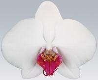 Орхидея Redlip Redlip Цветение: может цвести в любое время. Чаще всего цветет в период с февраля до конца мая.Свет: яркий рассеянный, без прямых солнечных лучей.Температура: Phalaenopsis schilleriana предпочитает умеренную температуру.Влажность воздуха: оптимальная влажность 50-70%. Необходимо учитывать, что молодым Фаленопсисам необходима более высокая влажность, нежели взрослому растению.Полив: Phalaenopsis schilleriana зависит от температуры в помещении и от способа посадки. Чем выше в помещении температура, тем быстрее просыхает субстрат, соответственно чаще требуется полив.Подкормка: Phalaenopsis schilleriana, необходимо удобрять в течение всего года, раз в две-три недели. Удобрение необходимо использовать специализированное для орхидей.Период покоя: в комнатных условиях чаще всего содержат без периода покоя.Пересадка: обычно Phalaenopsis schilleriana советуют пересаживать раз в 2-3 года, так как со временем кора разлагается, и теряется воздухопроницаемость субстрата, вследствие чего корни получают меньше воздуха, от чего они могут погибнуть. Также необходимость пересадки возникает, если корни полностью заполнили весь горшок.Размножение: в комнатной культуре, при благоприятных условиях вегетативное, то есть дочерними розетками на цветоносах, или в пазухах листьев.Размер: диаметр горшка- 13 см, высота- 70 см.Цветовая гамма растения в ассортименте.Данное растение имеет 2 цветоноса. Есть также 1, 3 и 4 цветоноса.