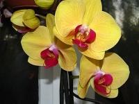 Орхидея Solid Gold