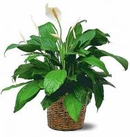 Спатифиллум Уоллиса Месторасположение: рассеянный без прямых солнечных лучей, может расти в полутени. Температура: весенне-летний период предпочитает температуру в пределах 22-23°C, не ниже 18°C. В осенне-зимний период оптимальная температура не ниже 16°C, так как это тормозит развитие растения. Полив: весенне-летний период и во время цветения обильный, между поливами верхний слой должен подсохнуть. В осенне-зимнее время полив умеренный. При поливе субстрат не должен пересыхать, но и не должен быть чрезмерно переувлажнен. Влажность воздуха: высокая, полезно опрыскивание. Для увеличения влажности можно поставить горшок с растением на поддон с влажным керамзитом, мхом или другим пористым материалом. Подкормка: с марта по сентябрь и во время цветения полным минеральным удобрением невысокой концентрации (1-1,5 г на литр воды). Пересадка: весной, по мере необходимости, когда корни заполнят горшок. Размножение: черенками и делением корневища.  Размер: диаметр горшка- 16 см, высота-45 см.
