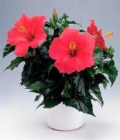 Гибискус (Китайская роза)  Свет: яркий рассеянный, в весенне-летний период без прямых солнечных лучей. В осенне-зимний период хорошее освещение, допускаются прямые лучи. Температура: умеренная, в весенне-летний период 18-22°С. Осенне-зимний период — 14-16°С, при температуре ниже 10°С может сбрасывать листья. Полив: в вегетационный период и цветение — обильный, по мере подсыхания верхнего слоя субстрата. В осенне-зимний период полив умеренный, спустя два-три дня после высыхания верхнего слоя земли. При содержании растения (в зимний период) при температуре ниже 14°С почву содержат умеренно влажной. При поливе нельзя допускать пересыхания, и чрезмерного переувлажнения субстрата. Влажность воздуха: не играет существенной роли, однако желательно опрыскивать растения, особенно во время цветения. Это процедура является также профилактикой против паутинного клеща. Подкормка: в весенне-летний период регулярные (1 раз в месяц) подкормки азотосодержащими минеральными удобрениями (стимулируют длительное цветение). Зимой вносят только фосфоро-калийное удобрение в половинной дозе 1 раз в месяц либо (при почти сухом содержании в прохладных условиях) не удобряют. Период покоя: ноябрь-февраль. Оптимальная температура 14-16°С, хорошее освещение, умеренном поливе. Может зимовать в обрезанном состоянии — осенью полив растения постепенно сводят к минимуму и дают опасть листьям, а затем обрезают стебли, оставив пеньки 7-8 сантиметров. В таком состоянии гибискус перезимует в прохладном месте (10-12°С) – чтобы не высохли корни, почву у гибискуса время от времени слегка увлажняют. Пересадка: молодые ежегодно весной. Взрослые переваливают раз в три-четыре года. Размножение: черенками, реже семенами. Размер: диаметр горшка- 14 см, высота- 35 см.