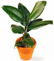Фикус каучуконосный  Свет: яркий рассеянный. Температура: в весенне-летний период 23-25°C, зимой большинству видов нужна температура 12-15°C, но они неплохо переносят зимовку и в тепле жилого помещения. Полив: обильный в весенне-летний период. С осени полив сокращают, зимой поливают умеренно.  Влажность воздуха: растение способно переносить сухой воздух, однако хорошо отзывается на опрыскивание. Подкормка: минеральные и органические жидкие подкормки в весенне-летнее время (2 раза в месяц) способствуют быстрому росту растений. Период покоя: зимой. Растения содержат в светлом помещении, поливают умеренно. Пересадка: молодые фикусы надо пересаживать ежегодно. Более взрослые растения пересаживают через 1-2 года, в марте. У кадочных экземпляров пересадку можно заменить ежегодной заменой верхнего слоя почвы. Размножение: в основном черенками, реже семенами. Допустимо размножать растения воздушными отводками. Размер: диаметр горшка- 16 см, высота- 40- 60 см.