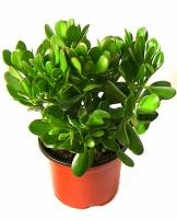 Крассула (Денежное дерево)  Свет: яркий. Растение нуждается в прямом солнечном свете. Температура: в весенне-летний период в районе 20-25°С. Осенью и зимой желательно понижать температуру до 10-15°С. Полив: весной и летом обильный. Осенью и зимой редкий, после того как субстрат высохнет. Влажность воздуха: не играет существенной роли. Подкормка: весной и летом 1 раз в две недели комплексным удобрением для комнатных растений. Период покоя: осень-зима. Растение содержат при 10-15°С с хорошим освещением, поливают редко. Пересадка: по мере необходимости, весной, когда горшок заполняется корнями. Размножение: семенами и черенками.  Размер: диаметр горшка- 16 см, высота- 25 см.