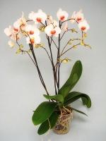 Орхидея Redlip Цветение: может цвести в любое время. Чаще всего цветет в период с февраля до конца мая.Свет: яркий рассеянный, без прямых солнечных лучей.Температура: Phalaenopsis schilleriana предпочитает умеренную температуру.Влажность воздуха: оптимальная влажность 50-70%. Необходимо учитывать, что молодым Фаленопсисам необходима более высокая влажность, нежели взрослому растению.Полив: Phalaenopsis schilleriana зависит от температуры в помещении и от способа посадки. Чем выше в помещении температура, тем быстрее просыхает субстрат, соответственно чаще требуется полив.Подкормка: Phalaenopsis schilleriana, необходимо удобрять в течение всего года, раз в две-три недели. Удобрение необходимо использовать специализированное для орхидей.Период покоя: в комнатных условиях чаще всего содержат без периода покоя.Пересадка: обычно Phalaenopsis schilleriana советуют пересаживать раз в 2-3 года, так как со временем кора разлагается, и теряется воздухопроницаемость субстрата, вследствие чего корни получают меньше воздуха, от чего они могут погибнуть. Также необходимость пересадки возникает, если корни полностью заполнили весь горшок.Размножение: в комнатной культуре, при благоприятных условиях вегетативное, то есть дочерними розетками на цветоносах, или в пазухах листьев.Размер: диаметр горшка- 13 см, высота- 70 см.Цветовая гамма растения в ассортименте.Данное растение имеет 3 цветоноса. Есть также 1, 2 и 4 цветоноса.