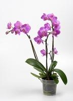 Орхидея Napoli Цветение: может цвести в любое время. Чаще всего цветет в период с февраля до конца мая.Свет: яркий рассеянный, без прямых солнечных лучей.Температура: Phalaenopsis schilleriana предпочитает умеренную температуру.Влажность воздуха: оптимальная влажность 50-70%. Необходимо учитывать, что молодым Фаленопсисам необходима более высокая влажность, нежели взрослому растению.Полив: Phalaenopsis schilleriana зависит от температуры в помещении и от способа посадки. Чем выше в помещении температура, тем быстрее просыхает субстрат, соответственно чаще требуется полив.Подкормка: Phalaenopsis schilleriana, необходимо удобрять в течение всего года, раз в две-три недели. Удобрение необходимо использовать специализированное для орхидей.Период покоя: в комнатных условиях чаще всего содержат без периода покоя.Пересадка: обычно Phalaenopsis schilleriana советуют пересаживать раз в 2-3 года, так как со временем кора разлагается, и теряется воздухопроницаемость субстрата, вследствие чего корни получают меньше воздуха, от чего они могут погибнуть. Также необходимость пересадки возникает, если корни полностью заполнили весь горшок.Размножение: в комнатной культуре, при благоприятных условиях вегетативное, то есть дочерними розетками на цветоносах, или в пазухах листьев.Размер: диаметр горшка- 13 см, высота- 70 см.Цветовая гамма растения в ассортименте.Данное растение имеет 3 цветоноса. Есть также 1, 2 и 4 цветоноса.