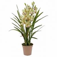 Орхидея (Цимбидиум) Цимбидиум гибридный (Cimbidium hibridum) - Крупное растение с толстыми. мясистыми корнями и тесно сгруппированными яйцевидными псевдобульбами. Листья ланцетные, длиной 60 - 70 см, шириной 2 - 3 см, обхватывают псевдобульбу у основания. Цветонос длиной до 70  см, но есть и миниатюрные гибриды. Цветки крупные, держаться на растении больше месяца. Очень широкая цветовая гамма: белые, розовые, зеленые, красные, коричневые, желтые, зеленые, кремовые. Для успешного выращивания цимбидиумов необходимы два основных условия: прохладное содержание (температура летом 15 - 20 °С, зимой - 10 - 15 °С, ночная температура может опускаться до 5 - 7°С) со значительными суточными перепадами температуры и постоянный приток свежего воздуха (помещение следует регулярно проветривать), летом желательно выставлять на открытый воздух. Цимбидиумы относятся к числу наиболее светолюбивых орхидей, но от прямых солнечных лучей необходимо притенять. Во время активного роста увлажняют обильно, после цветения, в период покоя, ограниченно, для поддержания необходимой влажности растения опрыскивают. Цимбидиумы пересаживают при необходимости после цветения.Субстрат - обычный для эпифитных орхидей.  Болезни и вредители: Цимбидиумы могут поражаться клещами, листья, стебли и псевдобульбы могут поражаться червецами и тлей. Растения подвержены вирусным заболеваниям. Размножение: размножают делением куста на части при пересадке. Каждая часть должна иметь не менее двух псевдобульб и одну точку роста. Старые и самые маленькие псевдобульбы удаляют. Семенное размножение применяется редко, так как сеянцы развиваются медленно. Размер: диаметр горшка- 19 см, высота- 60 см. Цветовая гамма растения в ассортименте.