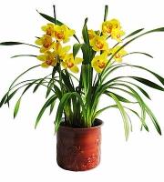 Орхидея Цимбидиум Цимбидиум гибридный (Cimbidium hibridum) - Крупное растение с толстыми. мясистыми корнями и тесно сгруппированными яйцевидными псевдобульбами. Листья ланцетные, длиной 60 - 70 см, шириной 2 - 3 см, обхватывают псевдобульбу у основания. Цветонос длиной до 70 см, но есть и миниатюрные гибриды. Цветки крупные, держаться на растении больше месяца. Очень широкая цветовая гамма: белые, розовые, зеленые, красные, коричневые, желтые, зеленые, кремовые.Для успешного выращивания цимбидиумов необходимы два основных условия: прохладное содержание (температура летом 15 - 20 °С, зимой - 10 - 15 °С, ночная температура может опускаться до 5 - 7°С) со значительными суточными перепадами температуры и постоянный приток свежего воздуха (помещение следует регулярно проветривать), летом желательно выставлять на открытый воздух. Цимбидиумы относятся к числу наиболее светолюбивых орхидей, но от прямых солнечных лучей необходимо притенять. Во время активного роста увлажняют обильно, после цветения, в период покоя, ограниченно, для поддержания необходимой влажности растения опрыскивают. Цимбидиумы пересаживают при необходимости после цветения.Субстрат - обычный для эпифитных орхидей. Болезни и вредители: Цимбидиумы могут поражаться клещами, листья, стебли и псевдобульбы могут поражаться червецами и тлей. Растения подвержены вирусным заболеваниям.Размножение: размножают делением куста на части при пересадке. Каждая часть должна иметь не менее двух псевдобульб и одну точку роста. Старые и самые маленькие псевдобульбы удаляют. Семенное размножение применяется редко, так как сеянцы развиваются медленно.Размер: диаметр горшка- 19 см, высота- 60 см.Цветовая гамма растения в ассортименте.