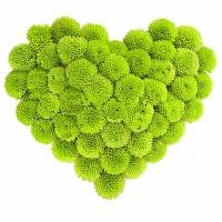 Счастливое сердечко Состав: хризантема зеленая - 15 веток. Размер:30 см. По Вашему усмотрению, цветовая гамма, а также цветочный состав композиции может изменяться.
