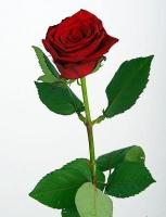 Роза Гран При Цвет: темно-красный Ширина бутона:  10- 12 см Высота бутона:  5 - 6 см Длина стебля: 60 - 90 см