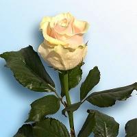 Роза Талея Цвет: кремовый Ширина бутона: 10- 12 см Высота бутона: 5- 6 см Длина стебля: 60 - 90 см