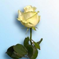 Роза Аваланч Цвет: белый Ширина бутона: 10- 12 см Высота бутона: 5- 6 см Длина стебля: 60 - 90 см