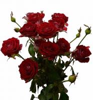 Кустовая роза (Руби Стар) Цвет: красный Длина: 60-70 см Кустовая роза- маленькое чудо. Она прекрасно будет сочетаться со многими другими цветами, а также и в отдельном букете.