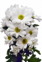 Хризантема кустовая Хризантемы символизируют преданность и верность. Существует многообразие видов хризантем. Эти цветы принесут в ваш дом частичку солнечного тепла и сделают домашний очаг уютней и светлей. Цвет: белый. В ассортименте есть разнообразные виды, сорта, а также цветовая гаамма.