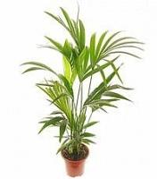 Пальма Ховея Свет: яркий. Растение способно переносить прямые солнечные лучи, переносит и легкое притенение.  Температура: в весенне-летний период 20-24°C. В зимний период 18-20°C.  Полив: летом обильный, в другие периоды умеренный. Земляной ком не должен пересыхать.  Влажность воздуха: не играет существенной роли. В летнее время рекомендуется опрыскивать.  Подкормка: минеральным удобрением, летом 2 раза в месяц. В другие периоды 1 раз в месяц.  Период покоя: не выражен.  Пересадка: молодые ховеи каждый год, более взрослые — 1 раз в 2-3 года. Крупные кадочные экземпляры можно не пересаживать, однако следует ежегодно заменять в кадке верхний слой субстрата.  Размножение: семенами.  Свет: яркий. Растение способно переносить прямые солнечные лучи, переносит и легкое притенение. Температура: в весенне-летний период 20-24°C. В зимний период 18-20°C. Полив: летом обильный, в другие периоды умеренный. Земляной ком не должен пересыхать. Влажность воздуха: не играет существенной роли. В летнее время рекомендуется опрыскивать. Подкормка: минеральным удобрением, летом 2 раза в месяц. В другие периоды 1 раз в месяц. Период покоя: не выражен. Пересадка: молодые ховеи каждый год, более взрослые — 1 раз в 2-3 года. Крупные кадочные экземпляры можно не пересаживать, однако следует ежегодно заменять в кадке верхний слой субстрата. Размножение: семенами. Размер: высота- 25- 35 см.