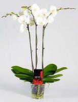 Орхидея Casablanca Цветение: может цвести в любое время. Чаще всего цветет в период с февраля до конца мая.Свет: яркий рассеянный, без прямых солнечных лучей.Температура: Phalaenopsis schilleriana предпочитает умеренную температуру.Влажность воздуха: оптимальная влажность 50-70%. Необходимо учитывать, что молодым Фаленопсисам необходима более высокая влажность, нежели взрослому растению.Полив: Phalaenopsis schilleriana зависит от температуры в помещении и от способа посадки. Чем выше в помещении температура, тем быстрее просыхает субстрат, соответственно чаще требуется полив.Подкормка: Phalaenopsis schilleriana, необходимо удобрять в течение всего года, раз в две-три недели. Удобрение необходимо использовать специализированное для орхидей.Период покоя: в комнатных условиях чаще всего содержат без периода покоя.Пересадка: обычно Phalaenopsis schilleriana советуют пересаживать раз в 2-3 года, так как со временем кора разлагается, и теряется воздухопроницаемость субстрата, вследствие чего корни получают меньше воздуха, от чего они могут погибнуть.Также необходимость пересадки возникает, если корни полностью заполнили весь горшок.Размножение: в комнатной культуре, при благоприятных условиях вегетативное, то есть дочерними розетками на цветоносах, или в пазухах листьев.Размер: диаметр горшка- 13 см, высота- 70 см.Цветовая гамма растения в ассортименте.Данное растение имеет 3 цветоноса. Есть также 1, 2 и 4 цветоноса.