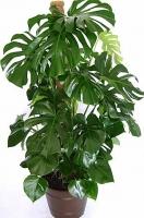 Монстера Свет: яркий рассеянный. От прямых солнечных лучей следует притенять. Температура: весной-летом в районе 25°C, осенью и зимой около 18°C. Полив: в весенне-летний период обильный, с осени полив сокращают, зимой поливают умеренно. Влажность воздуха: растение желательно регулярно опрыскивать. Подкормка: с апреля по август 1 раз в 2 недели минеральными и органическими удобрениями. Период покоя: зимой. Растение содержат в светлом помещении, поливают умеренно. Пересадка: молодые растения необходимо пересаживать ежегодно, 3—4-летние — один раз в 2 года, старше 5 лет — каждые 3—4 года, однако необходима ежегодная подсыпка земли. Размножение: отростками, черенками, семенами (реже). Размер: высота- 100 см. Высота 150 см- 1300 грн.