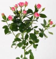 Кустовая роза (Грация) Цвет: розовый. Длина: 60-70 см.