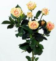 Кустовая роза (Елена)  Цвет: кремовый Длина: 60-70 см