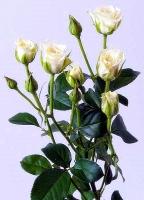 Кустовая роза (Сноу Флейк)  Цвет: белый Длина: 60-70 см