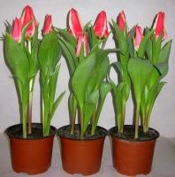 Тюльпан в горшке Цветовая гамма разнообразная Размер:высота- 20-22 см Минимальный заказ- 5 вазонов