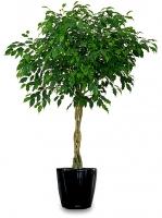 Фикус дерево Свет:яркий рассеянный. Температура:в весенне-летний период 23-25°C, зимой большинству видов нужна температура 12-15°C, но они неплохо переносят зимовку и в тепле жилого помещения. Полив:обильный в весенне-летний период. С осени полив сокращают, зимой поливают умеренно. Влажность воздуха:растение способно переносить сухой воздух, однако хорошо отзывается на опрыскивание. Подкормка:минеральные и органические жидкие подкормки в весенне-летнее время (2 раза в месяц) способствуют быстрому росту растений. Период покоя:зимой. Растения содержат в светлом помещении, поливают умеренно. Пересадка:молодые фикусы надо пересаживать ежегодно. Более взрослые растения пересаживают через 1-2 года, в марте. У кадочных экземпляров пересадку можно заменить ежегодной заменой верхнего слоя почвы. Размножение:в основном черенками, реже семенами. Допустимо размножать растения воздушными отводками. Высота:190- 200 см. Высота 150- 160 см- 2700 грн.