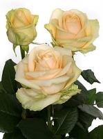 Роза Пич Аваланч Цвет:Легкий кремовый цвет с отенком персикового. Размер: 60- 80 см.