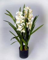 Орхидея Цимбидиум Цимбидиум гибридный (Cimbidium hibridum) - Крупное растение с толстыми. мясистыми корнями и тесно сгруппированными яйцевидными псевдобульбами. Листья ланцетные, длиной 60 - 70 см, шириной 2 - 3 см, обхватывают псевдобульбу у основания. Цветонос длиной до 70  см, но есть и миниатюрные гибриды. Цветки крупные, держаться на растении больше месяца. Очень широкая цветовая гамма: белые, розовые, зеленые, красные, коричневые, желтые, зеленые, кремовые. Для успешного выращивания цимбидиумов необходимы два основных условия: прохладное содержание (температура летом 15 - 20 °С, зимой - 10 - 15 °С, ночная температура может опускаться до 5 - 7°С) со значительными суточными перепадами температуры и постоянный приток свежего воздуха (помещение следует регулярно проветривать), летом желательно выставлять на открытый воздух. Цимбидиумы относятся к числу наиболее светолюбивых орхидей, но от прямых солнечных лучей необходимо притенять. Во время активного роста увлажняют обильно, после цветения, в период покоя, ограниченно, для поддержания необходимой влажности растения опрыскивают. Цимбидиумы пересаживают при необходимости после цветения.Субстрат - обычный для эпифитных орхидей.  Болезни и вредители: Цимбидиумы могут поражаться клещами, листья, стебли и псевдобульбы могут поражаться червецами и тлей. Растения подвержены вирусным заболеваниям. Размножение: размножают делением куста на части при пересадке. Каждая часть должна иметь не менее двух псевдобульб и одну точку роста. Старые и самые маленькие псевдобульбы удаляют. Семенное размножение применяется редко, так как сеянцы развиваются медленно.  Размер: диаметр горшка- 19 см, высота- 60 см. Цветовая гамма растения в ассортименте.