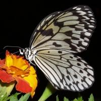 Бабочка Бумажный змей Живая тропическая бабочка Бумажный змей имеет размах крыльев 13-15 см. Срок жизни может достигать до трех недель. Бабочек нужно оберегать от отопительных и обогревательных приборов, открытого огня, нагревательных ламп, от кондиционеров и открытых окон. А также бабочка боится холода. Кормить бабочку необходимо один раз в день. Можно использовать раствор сахара,раствор меда,нарезанные фрукты (банан, апельсин, груши, персики, яблоки).