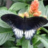 Бабочка Ласточкин хвост Живая тропическая бабочка Ласточкин хвост имеет размах крыльев 13-15 см. Бабочка имеет удивительную окраску в стиле ретро, и необычные крылья-капли. Срок жизни может достигать до трех недель. Бабочек нужно оберегать от отопительных и обогревательных приборов, открытого огня, нагревательных ламп, от кондиционеров и открытых окон. А также бабочка боится холода. Кормить бабочку необходимо один раз в день. Можно использовать раствор сахара,раствор меда,нарезанные фрукты (банан, апельсин, груши, персики, яблоки).