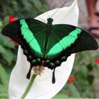 Бабочка Павлин Большая и очень яркая живая бабочка Павлин имеет размах крыльев до 12 см. Цвет её крыльев изменяется с каждым взмахом крылышек – от нефритового до темно-лазурного. Бабочка очень быстрая. Срок жизни 5- 7 дней. Бабочек нужно оберегать от отопительных и обогревательных приборов, открытого огня, нагревательных ламп, от кондиционеров и открытых окон. А также бабочка боится холода. Кормить бабочку необходимо один раз в день. Можно использовать раствор сахара,раствор меда,нарезанные фрукты (банан, апельсин, груши, персики, яблоки).