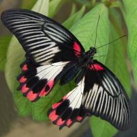 Бабочка Румянцева Живая тропическая бабочка Румянцева имеет большие угольно-черные крылья, которые ближе к тельцу бабочки становятся алыми.Размах крыльев 12-14 см. Срок жизни достигает 7- 10 дней. Бабочек нужно оберегать от отопительных и обогревательных приборов, открытого огня, нагревательных ламп, от кондиционеров и открытых окон. А также бабочка боится холода. Кормить бабочку необходимо один раз в день. Можно использовать раствор сахара,раствор меда,нарезанные фрукты (банан, апельсин, груши, персики, яблоки).