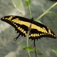 Бабочка Тоас Живая тропическая бабочка Тоас имеет шоколадно-лимонный окрас.Размах её крыльев 13-15 см. Срок жизни данной бабочки около 10 дней. Бабочек нужно оберегать от отопительных и обогревательных приборов, открытого огня, нагревательных ламп, от кондиционеров и открытых окон. А также бабочка боится холода. Кормить бабочку необходимо один раз в день. Можно использовать раствор сахара,раствор меда,нарезанные фрукты (банан, апельсин, груши, персики, яблоки).
