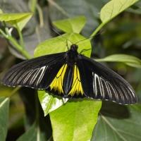 Бабочка Птицекрылка Живая тропическая бабочка Птицекрылка довольно крупная, крылья имеют заострённую форму, что делает их схожими с птицами в полёте. Верхние крылышки окрашены в черный цвет, а нижние – ярко желтые.Размах крыльев достигает 12-15 см. Срок жизни данной бабочки около двух недель. Бабочек нужно оберегать от отопительных и обогревательных приборов, открытого огня, нагревательных ламп, от кондиционеров и открытых окон. А также бабочка боится холода. Кормить бабочку необходимо один раз в день. Можно использовать раствор сахара,раствор меда,нарезанные фрукты (банан, апельсин, груши, персики, яблоки).