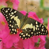 Бабочка Демолеус Живая тропическая бабочка Демолеус красивый узор из желтых кружочков неправильной формы.Размах крыльев 6-8 см. Срок жизни 5- 7 дней. Бабочек нужно оберегать от отопительных и обогревательных приборов, открытого огня, нагревательных ламп, от кондиционеров и открытых окон. А также бабочка боится холода. Кормить бабочку необходимо один раз в день. Можно использовать раствор сахара,раствор меда,нарезанные фрукты (банан, апельсин, груши, персики, яблоки).