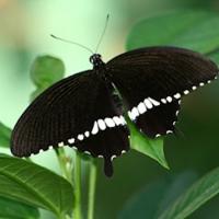 Бабочка Мормон Живая, бархатная, черная бабочка с белой каймой внизу крыльев Мормон выглядит очень аристократично благодаря своему окрасу.Имеет размах крыльев 10-12 см. Срок жизни 5- 7 дней. Бабочек нужно оберегать от отопительных и обогревательных приборов, открытого огня, нагревательных ламп, от кондиционеров и открытых окон. А также бабочка боится холода. Кормить бабочку необходимо один раз в день. Можно использовать раствор сахара,раствор меда,нарезанные фрукты (банан, апельсин, груши, персики, яблоки).