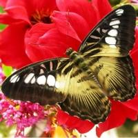 Бабочка Сильвия Живая тропическая бабочка Сильвия своим внешним видом напоминает полосы азиатского тигра.Имеет размах крыльев 8-10 см. Срок жизни 5- 7 дней. Бабочек нужно оберегать от отопительных и обогревательных приборов, открытого огня, нагревательных ламп, от кондиционеров и открытых окон. А также бабочка боится холода. Кормить бабочку необходимо один раз в день. Можно использовать раствор сахара,раствор меда,нарезанные фрукты (банан, апельсин, груши, персики, яблоки).