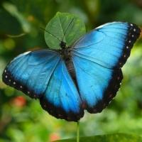 Бабочка Морфо Живая тропическая бабочка Морфо одна из самых ярких тропических бабочек. Крылышки имеют необычный ярко бирюзовый цвет. Имеет размах крыльев до 21 см. Срок жизни может достигать до трех недель. Бабочек нужно оберегать от отопительных и обогревательных приборов, открытого огня, нагревательных ламп, от кондиционеров и открытых окон. А также бабочка боится холода. Кормить бабочку необходимо один раз в день. Можно использовать раствор сахара,раствор меда,нарезанные фрукты (банан, апельсин, груши, персики, яблоки).