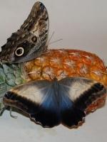 Бабочка Калиго Живая тропическая бабочка Калиго имеет окрас крыльев, которые переливаются фиолетовым и голубым цветом. Нижние крылья иногда имеют цветные полосы или же пятна, напоминающие глаза совы. Размах крыльев 16 см. Срок жизни может достигать до трех недель. Одна из самых лучших бабочек подходящих для домашнего содержания. Бабочек нужно оберегать от отопительных и обогревательных приборов, открытого огня, нагревательных ламп, от кондиционеров и открытых окон. А также бабочка боится холода. Кормить бабочку необходимо один раз в день. Можно использовать раствор сахара,раствор меда,нарезанные фрукты (банан, апельсин, груши, персики, яблоки).