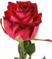 Роза Чири Роза украинская сорта Чири Длина 60- 90 см Имеет красивый бутон красного цвета.