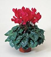 Цикламен Минимальный заказ- 5 растений! Цветовая гамма разнообразная Размер: 20- 25 см