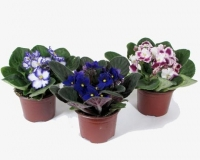 Фиалка маленькая Минимальный заказ- 5 растений! Цветовая гамма разнообразная Размер: 20- 25 см